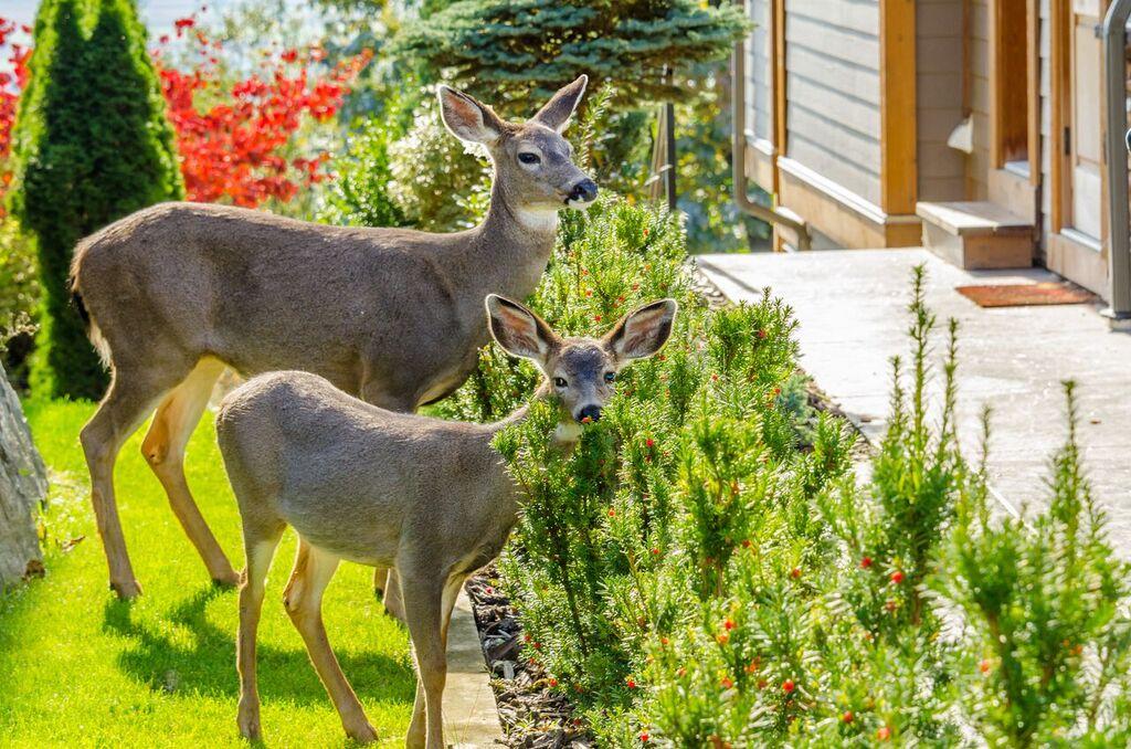 Are deer getting too close for comfort in your Delaware County, PA, landscape?